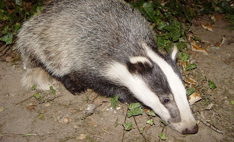 Farming groups 'stand firm' behind TB badger cull