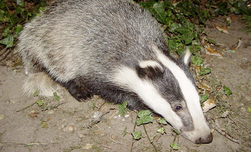 RSPCA accused of bullying after badger cull threats