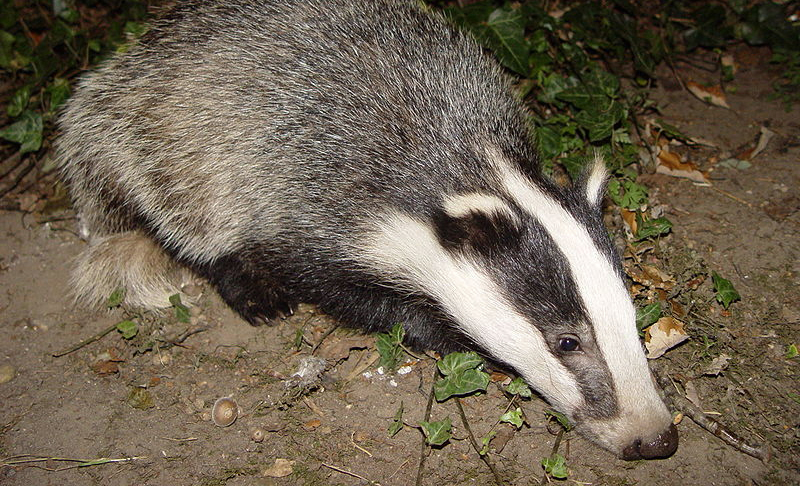 RSPCA expresses delight as badger cull halted