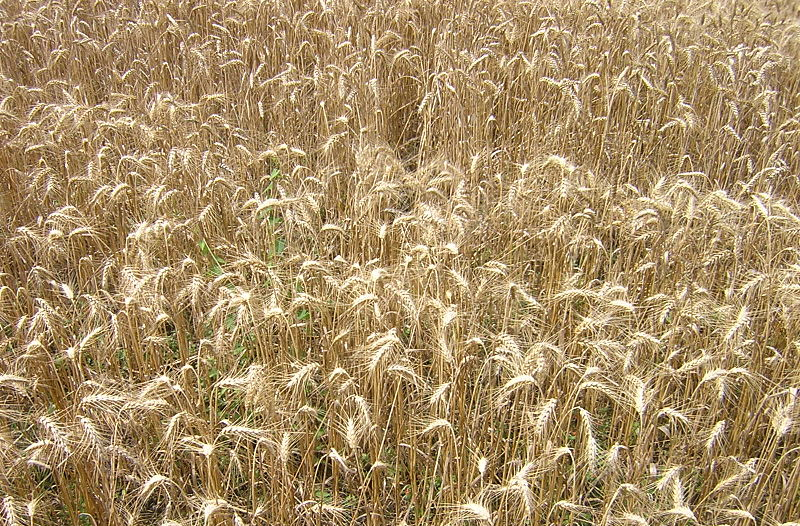 Wheat genome alone 'will not improve food security'