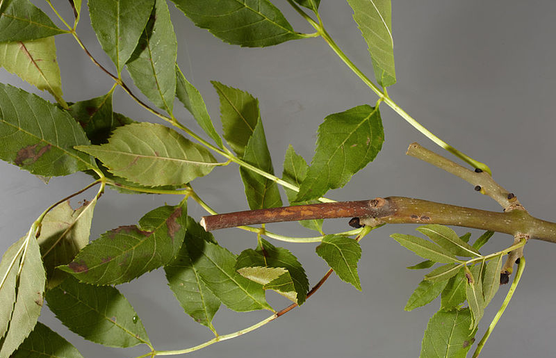 Ash dieback strategy outlined by government