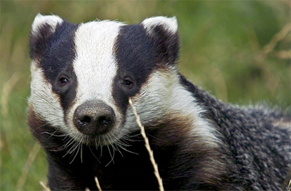 Badger vaccination can cut TB by half says research