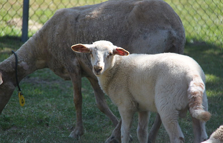 Farming groups warn of losses to liver fluke disease