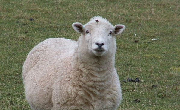 Farmers losing £29 on every lamb sold, figures show