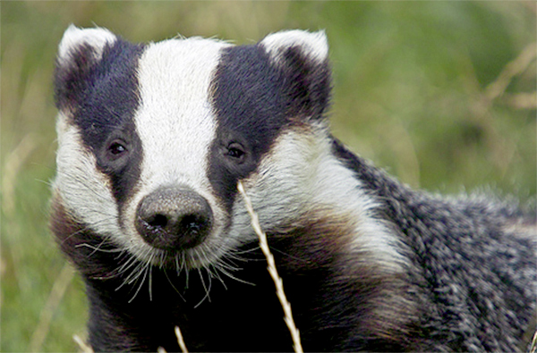 Research reveals level of illegal badger culling