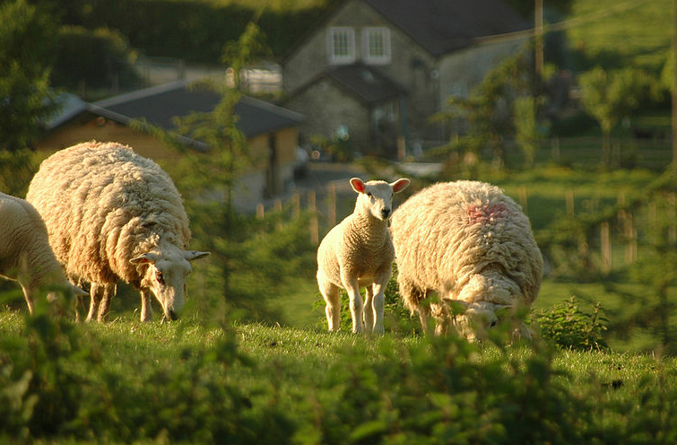 FUW stresses vigilance over sheep rustling