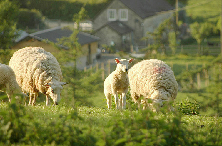 Farmgate price is 'great lamb robbery' says NFU