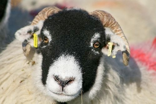 MEPs reject sheep EID cross compliance