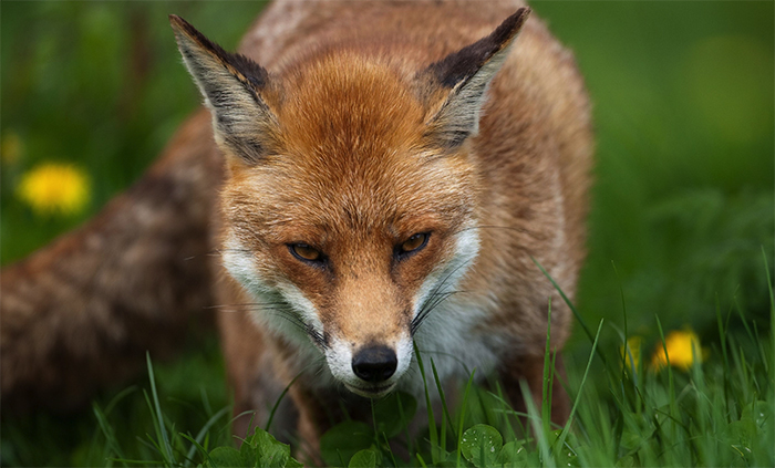 Urban foxes 'dumped in the countryside'