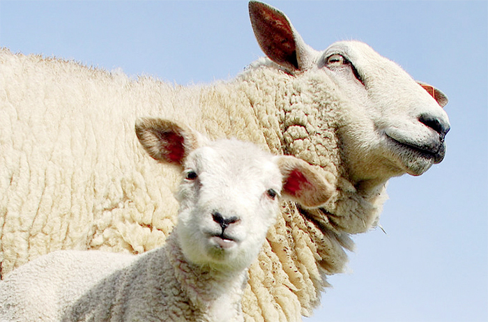 Lamb prices and Schmallenberg 'worrying farmers'