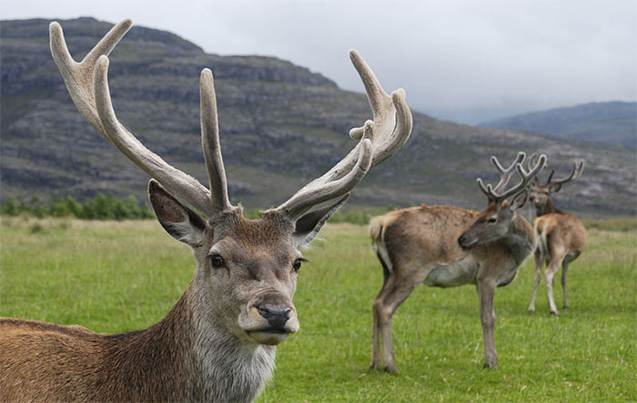 Mass cull 'not the answer' says deer gro...