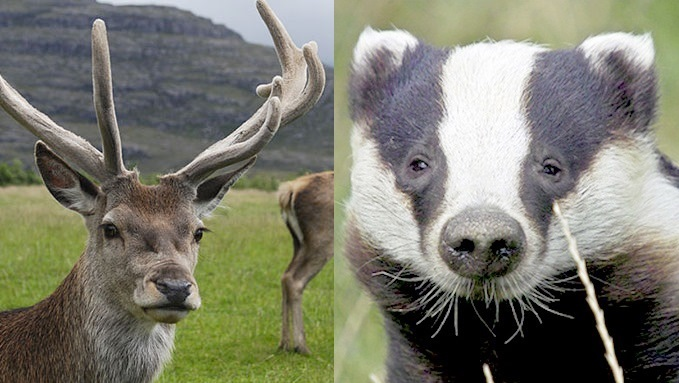 Deer cull logic must apply to badgers sa...