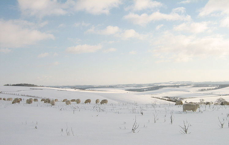 Sheep and cattle perishing in freeze