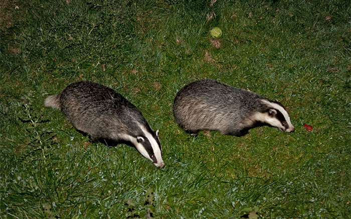 Badger to cattle TB infections are rare, says research