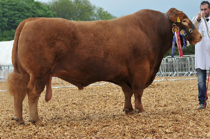 South Devon cattle breeders celebrate at National Show