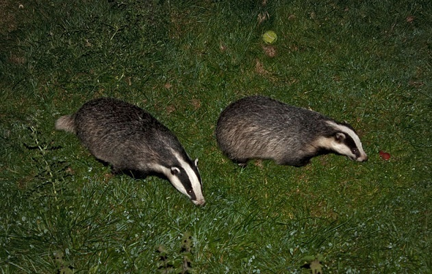 Badger cull 'vital to avoid needless sla...