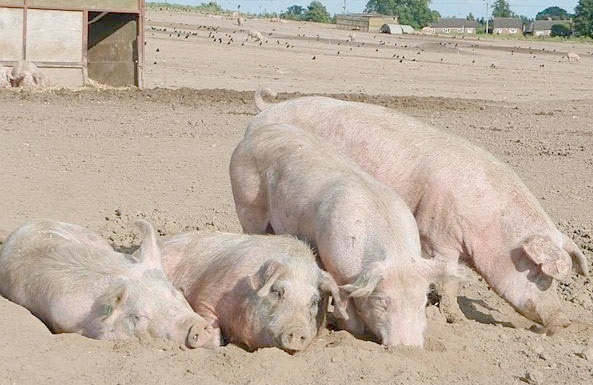 GM feed harming pig health, says new research