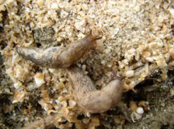 Slugwatch UK – trapping alert for potato growers