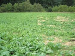 Flea beetles devastating Brassica fodder crops