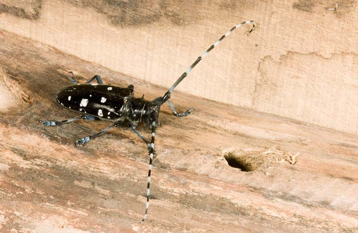 Public asked to watch for beetle threat ...