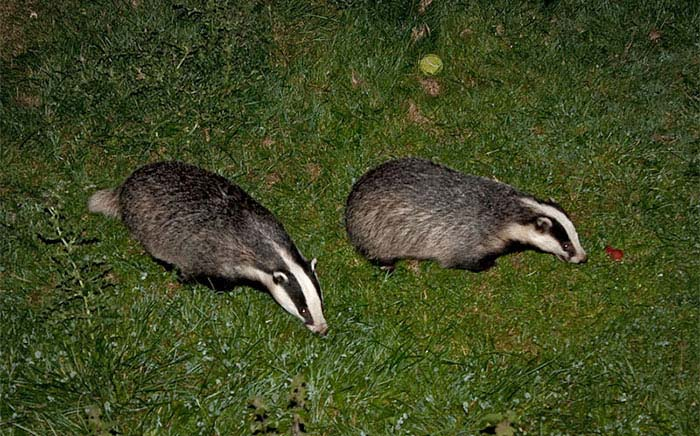 Thousands sign badger cull e-petition