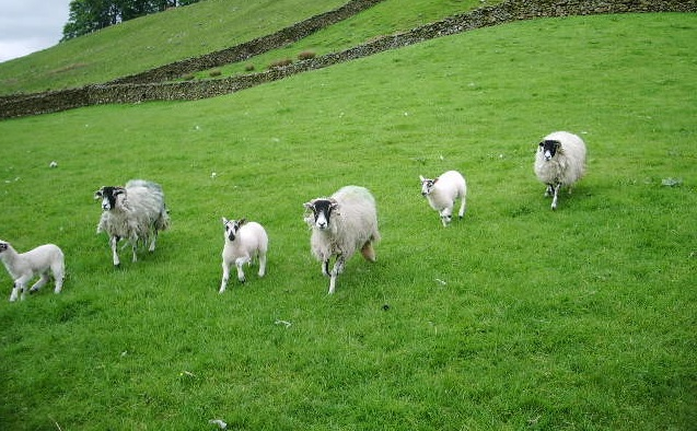 Sheep association 'bitterly disappointed' over EID plans
