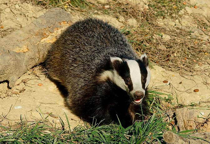 Badger cull operations to cease in Gloucestershire