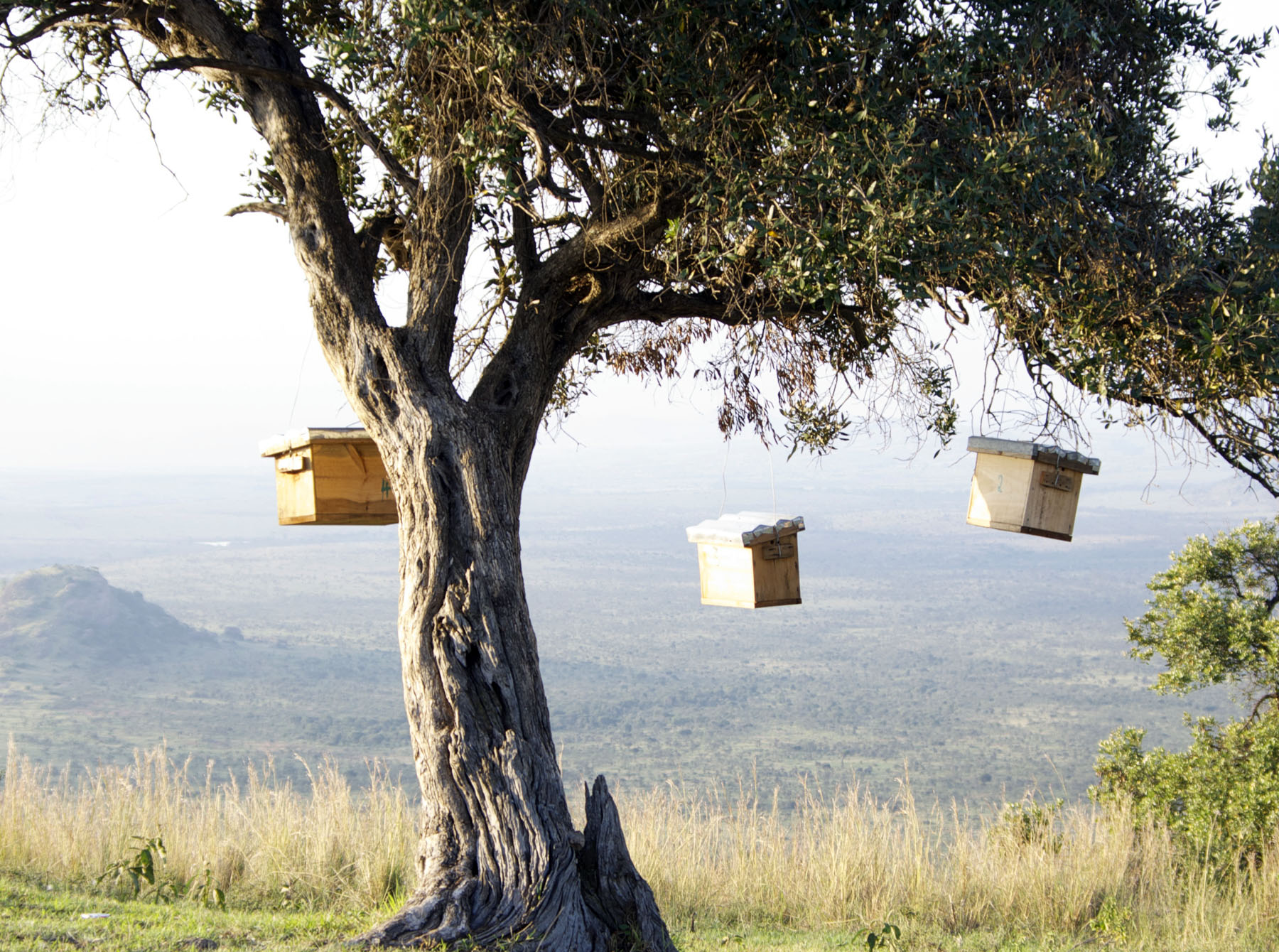 The hives are on the Lolldaiga Ranch. The photo shows catcher boxes waiting for the migrating bees during the flowering season.