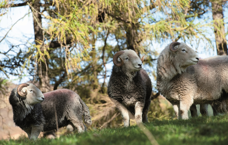 Cumbrian MPs back national Herdwick project