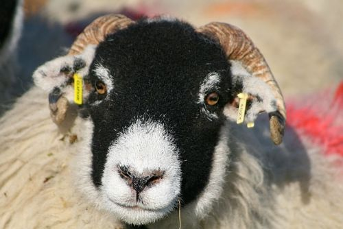 NFU meets minister on sheep EID