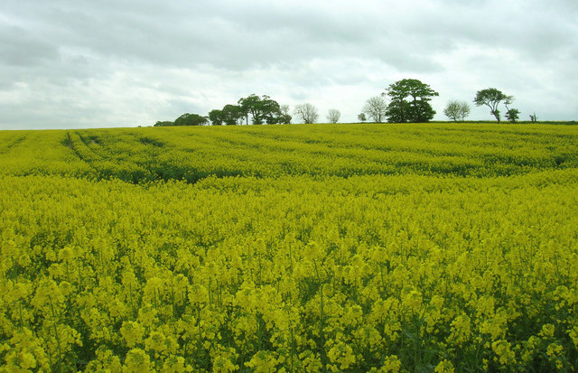 Rothamsted submits GM field trial application