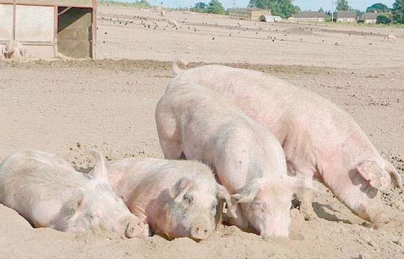UK pig producers urged to review defences against disease