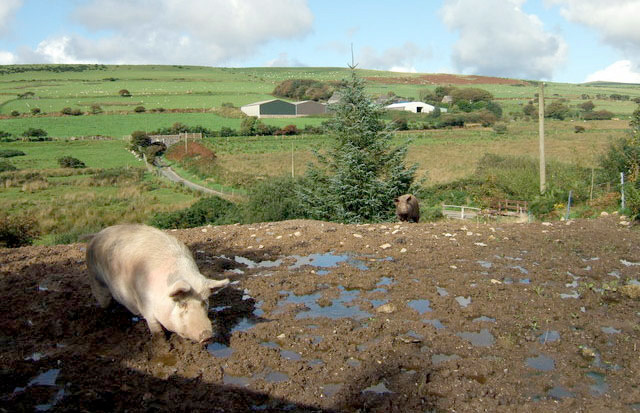 Pig farmers call on government to improve defences against swine fever