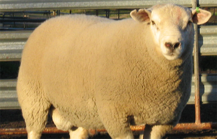 Texel genetics in demand in southern hemisphere