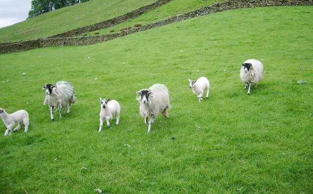 Sheep association to run meetings with provider of new electronic database