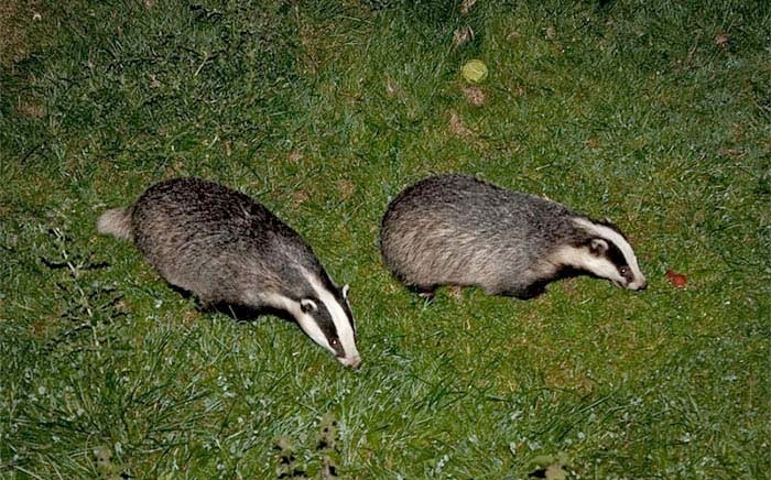 Badger vaccination 'not a viable alternative to culling'