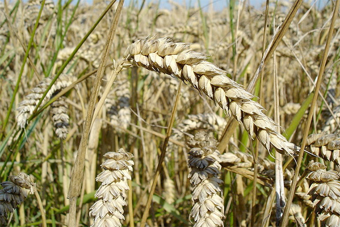 Indonesia to establish itself as top 3 global wheat importer