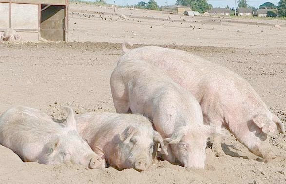 Porcine virus to cause shortfall in American hog market
