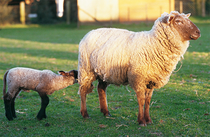 Lambs face production set-back if coccidiosis left untreated