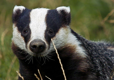 Badger colony repairs to cost £35,000 for Norfolk council