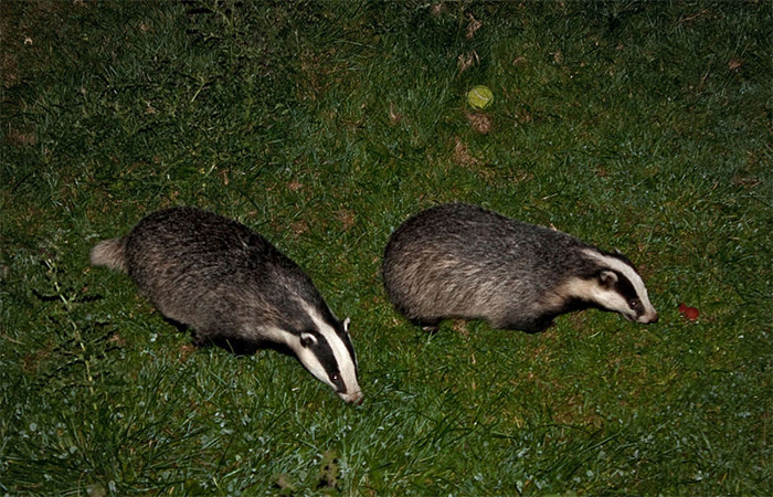 Cull the badger cull, says Andrew George MP