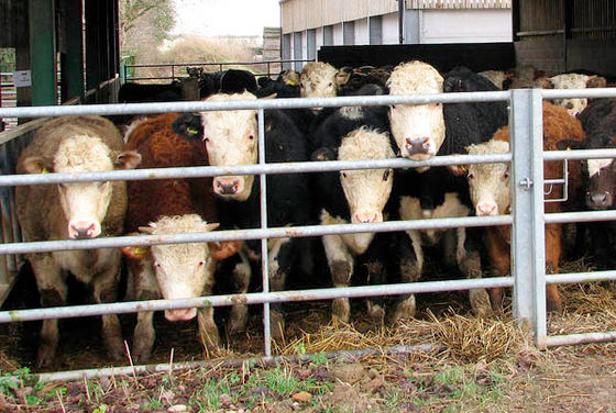 Wet winter may increase risk of liver fluke in cattle