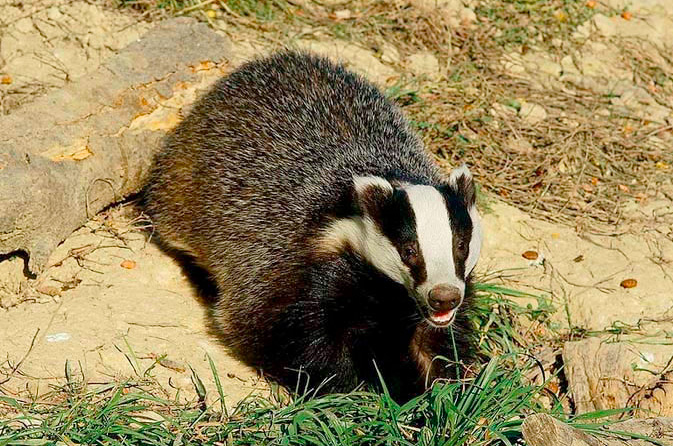 DEFRA abandons badger cull expansion in England