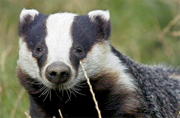 Farmers 'bitterly disappointed' over badger cull halt