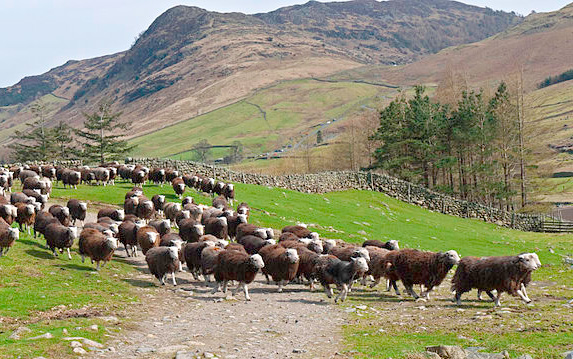 Prince of Wales backs Herdwick breed with visit to auction