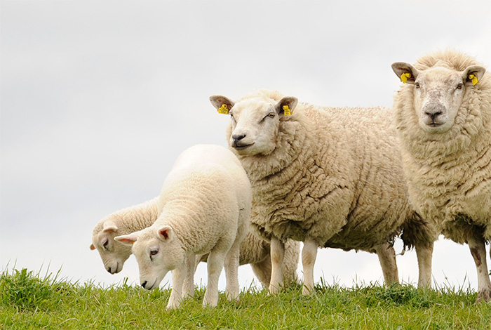 Experts warn sheep farmers of Nematodirus risk