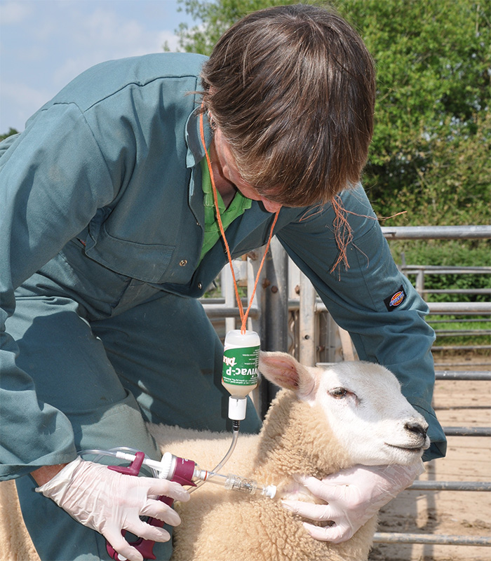 Sheep producers urged to vaccinate against killer threats