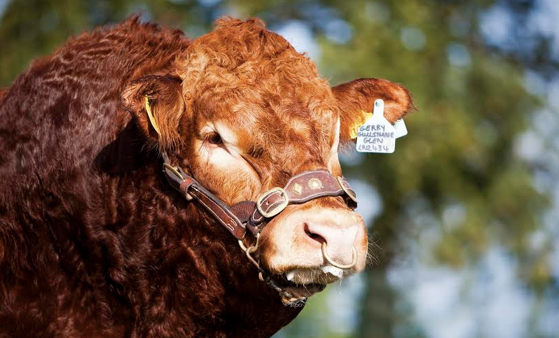 Top 1% EBV Limousin bull joins Cogent Signature Beef