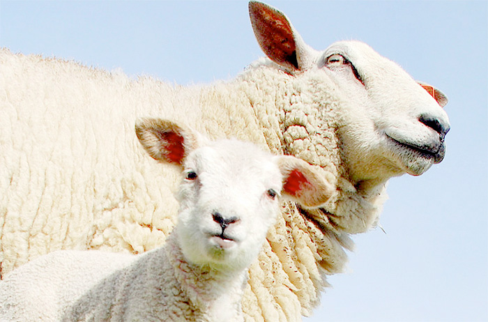 Vets warn farmers over liver fluke risks