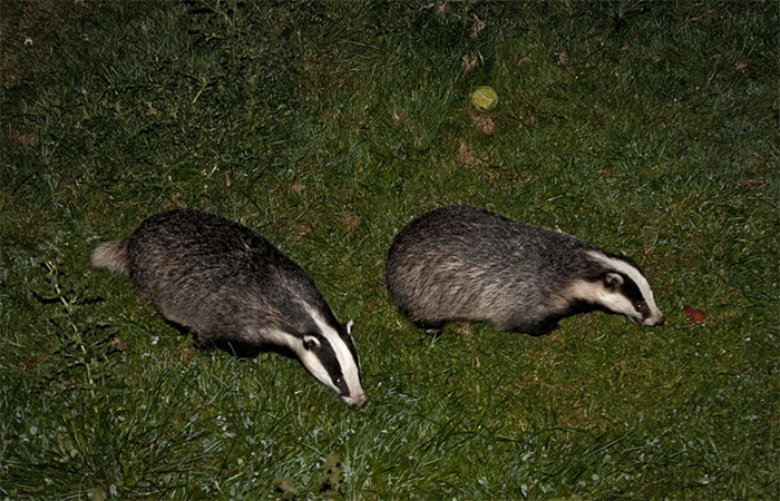 Thermal imaging cameras to prevent badger cull marksmen